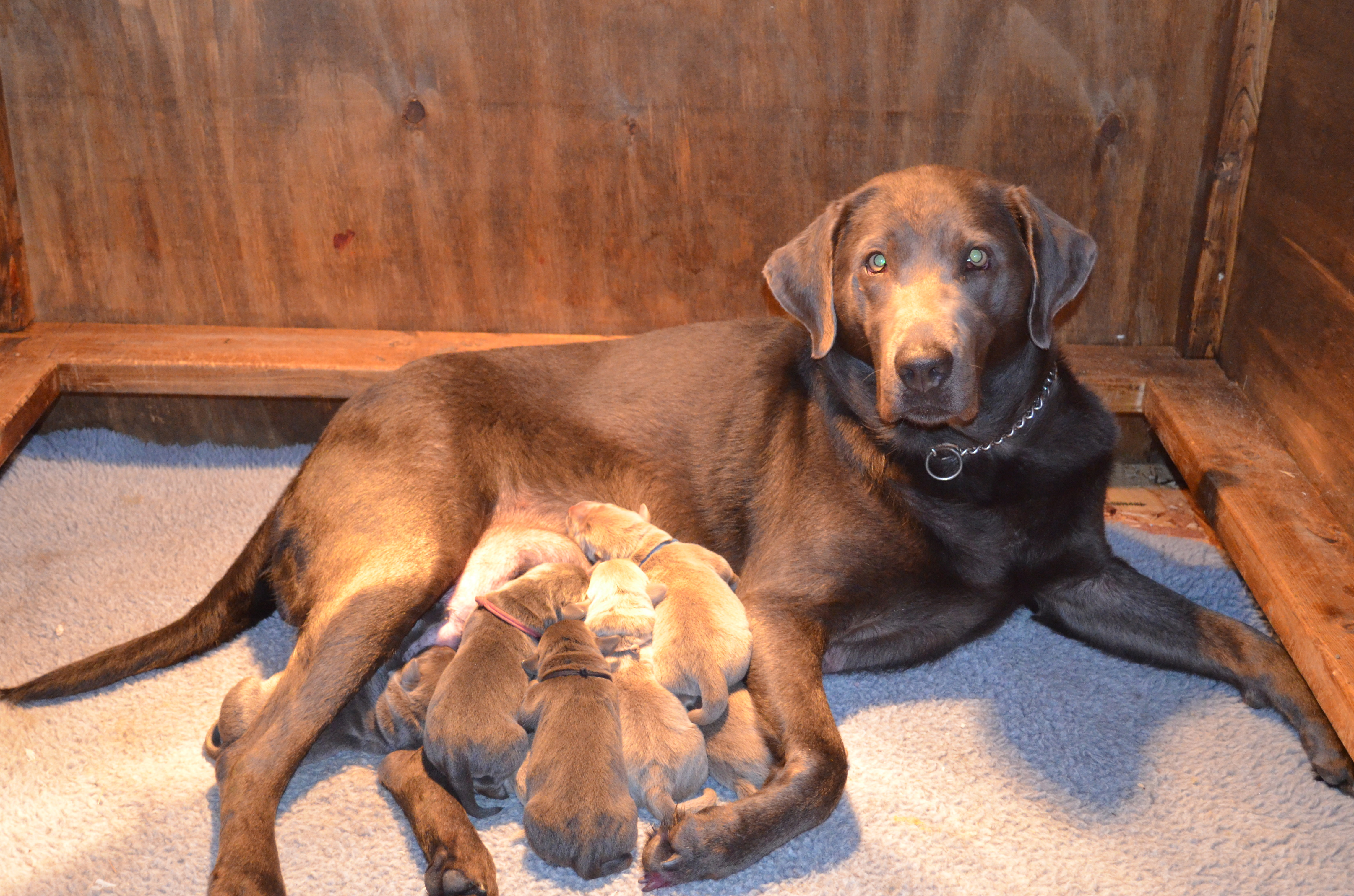 Silver Labs Puppies For Sale In Pa